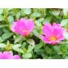 太阳花种植-品质好的太阳花当选鲁强花卉