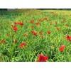 红运萱草种植基地-来鲁强花卉,买高质量的红运萱草