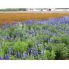 四川鼠尾草-哪里能买到鼠尾草