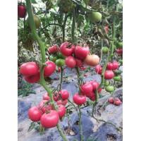 金华西红柿苗 大红嫁接西红柿种苗厂