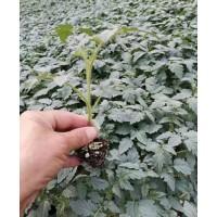 丽水供应蔬菜苗 寿光种苗基地